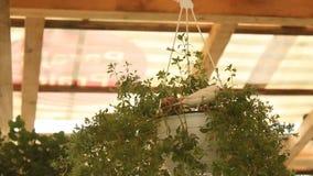 Pinzones de cebra (guttata de Taeniopygia) almacen de video