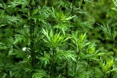 piołun dzika roślinnych Obrazy Stock