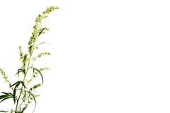 Piołun roślina Zdjęcia Stock