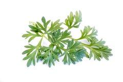 Piołunu absyntu roślina odizolowywająca na białym tle obrazy royalty free