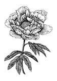 Pioen, bloem, gravure, tekening, vector, illustratie Stock Foto
