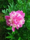 Pioen - een symbool van liefde en rijkdom royalty-vrije stock afbeeldingen