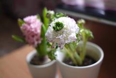 Pioen en hyacint Royalty-vrije Stock Afbeeldingen