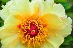 Pioen Mooie bloem in de lentetijd Gele pioen stock afbeelding