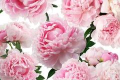 Pioen roze bloemen op witte achtergrond Bloemen patroon Stock Foto