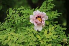 Pioenbloem het tot bloei komen Royalty-vrije Stock Afbeelding