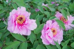 Pioenbloem in Nanhaizi-het Park van het Land royalty-vrije stock afbeeldingen