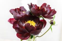 Pioenbloem van de donkere kleur van Bourgondië op witte achtergrond Royalty-vrije Stock Fotografie