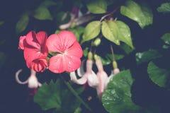 Pioenbloemblaadjes met dauwdalingen Royalty-vrije Stock Fotografie