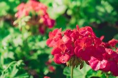 Pioenbloemblaadjes met dauwdalingen Royalty-vrije Stock Foto