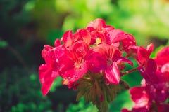 Pioenbloemblaadjes met dauwdalingen Stock Fotografie