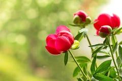 Pioenbloemen Royalty-vrije Stock Foto's