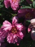 Pioenbloemen in de tuin royalty-vrije stock foto's