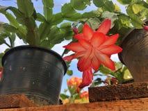 pioenboom Stock Foto's