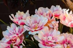Pioenen die in een tuin tijdens de zomer bloeien royalty-vrije stock fotografie