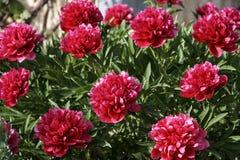 Pioenenbloemen stock afbeelding