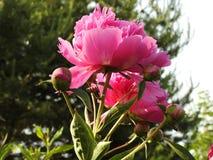 Pioenenbloemen stock fotografie