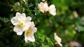 Pioggia che cade sui fiori selvaggi bianchi di Rosa - alto vicino archivi video