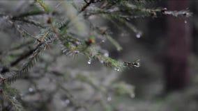 Pioggia con pioggia nella foresta Video soft focus sugli aghi stock footage