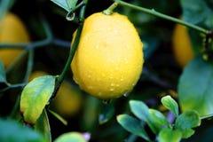 Pioggia del limone Fotografia Stock