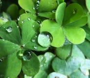 Pioggia dell'acetosella Fotografia Stock Libera da Diritti
