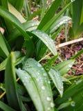 Pioggia di mattina sulle foglie dell'iride immagini stock libere da diritti