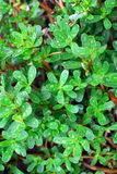 pioggia di verde di erba Fotografia Stock Libera da Diritti