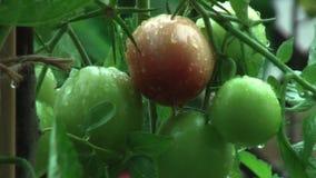 Pioggia Gocce di pioggia che gocciolano dal pomodoro stock footage