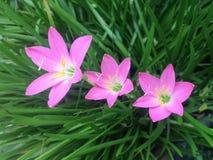 Pioggia lilly Fotografie Stock