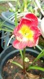 Pioggia lilly fotografia stock