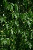 Pioggia pesante sulla foglia verde immagine stock libera da diritti