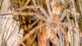 Pioggia Spiderling (maschio) fotografia stock libera da diritti