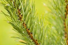 Pioggia sul pino Fotografia Stock Libera da Diritti