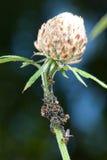 Piojos de planta de ordeño de las hormigas Imagen de archivo