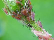 Piolhos de planta no botão cor-de-rosa Foto de Stock