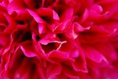 pion Royaltyfria Bilder