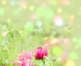 Pion. beautiful spring flowers Stock Image
