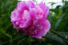 Pion blomma Royaltyfria Bilder