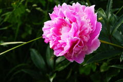 Pion blomma Royaltyfri Fotografi