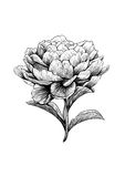 Pion blomma, gravyr, teckning, vektor, illustration Stock Illustrationer