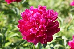 Pion blomma, paeon, trädgård, flora Arkivbild