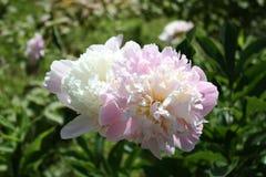 Pion blomma, paeon, trädgård, flora Arkivfoto