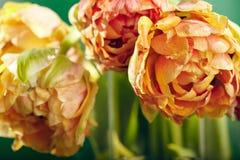Pion eller Finola Double Tulip på grön bakgrund royaltyfria foton