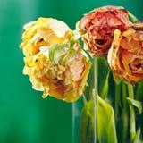Pion eller Finola Double Tulip på grön bakgrund arkivfoton