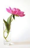 pion för 3 blomma Royaltyfri Foto