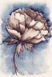 Pion för blomma för sepia för vattenfärgtappning marinblå Royaltyfria Bilder
