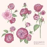 Pion-förmige rosafarbene Illustration Anlage, Blumen, Blätter, Hand gezeichneter Satz Bunte Vektorillustrationssammlung Stockbild