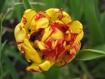 Pion-like tulip Stock Photo