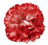 Pionblomman som var röd på en vit, isolerade bakgrund med den snabba banan Natur Closeup inga skuggor Trädgård Arkivbild