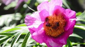 Pionblommapaeonia och två bin i den lösa naturen - makro arkivfilmer